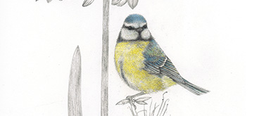 Blue Tit by Anne Mortimer